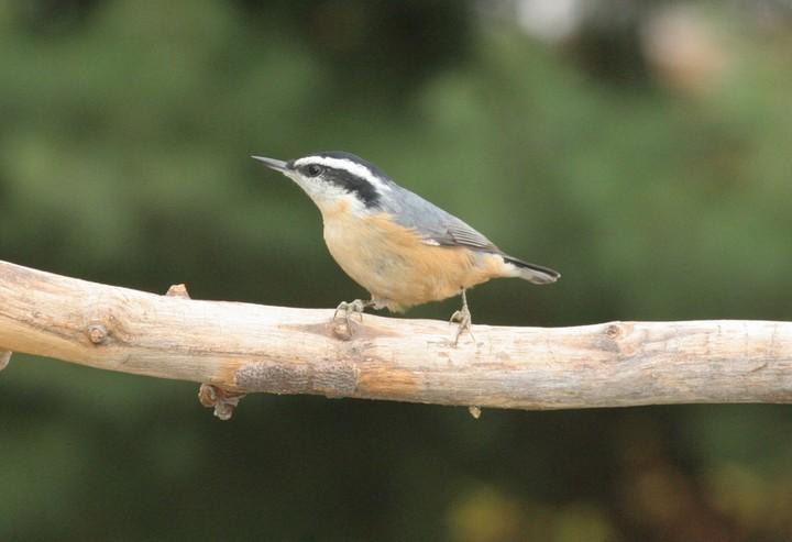 birding in the shenandoah valley shenandoah naturalists free bird